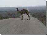 В Петербурге задержали верблюда