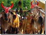 Королевские быки предсказали плохой урожай риса в Камбодже