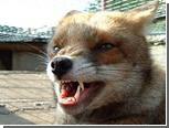 В Чувашии бешеная лиса забралась на пятый этаж