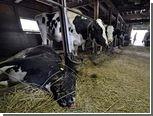 """В зоне отчуждения вокруг """"Фукусимы"""" уничтожат весь скот"""