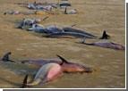 На крымском берегу найдены 26 мертвых дельфинов. Похоже, это проделки браконьеров