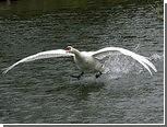 Агрессивному лебедю подыскали новое жилье