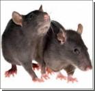 Мошенники попались на продаже крысиного мяса
