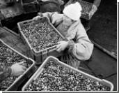 Британия может привлечь сборщиков ягод из России и Украины