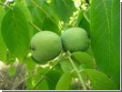 Чай из листьев грецкого ореха очищает кровь