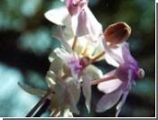 В Китае найдена орхидея, использующая новый механизм самоопыления