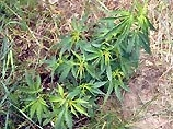 Пресвитерианская Церковь США одобрила медицинское использование марихуаны