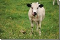 Коровье бешенство начнет убивать через 50 лет