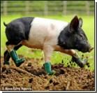 "Свинью-""грязефобку"" спасают от сумасшествия. Фото"
