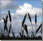 Трансгенная пшеница бросает вызов засухе