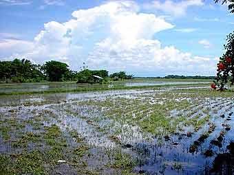 Крупнейший в мире импортер риса займется зерновыми интервенциями