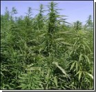 Арестовали плантацию марихуаны на 84 млн долларов