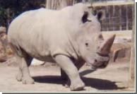 Последние четыре особи белого носорога под угрозой уничтожения