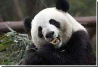 Землетрясение в Китае разрушило ареал обитания диких панд