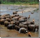 На Шри-Ланке крестили маленьких слоников