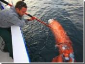 В Австралии выловили гигантского кальмара, а в США - мегаакулу. Видео