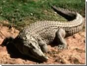 В Китае выпущены в дикую природу искусственно разведенные аллигаторы