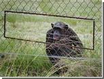 Шимпанзе из заповедника в ЮАР напали на техасского студента