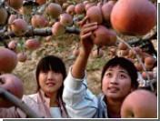 Китайские фермеры пичкают яблоки смертельно опасными соединениями