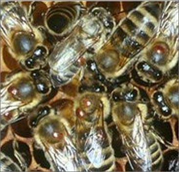 Ученые нашли убийцу миллиардов пчел по всему миру