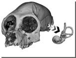 Палеонтологи измерили скорость передвижения древних приматов