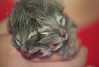 В США обнаружен двумордый котёнок