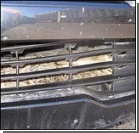 Сбитый заяц проехался на бампере. Фото