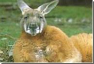По холмам Ирландии бродит сбежавший кенгуру