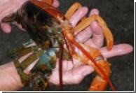 В Мэне пойман половинчатый омар