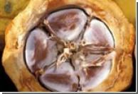 Нигерийцев накормят жаростойким шоколадом