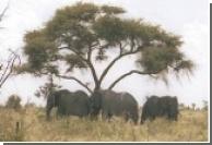 Африканским слонам угрожают китайцы