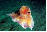 """В глубинах океана обнаружены """"кальмары-вампиры"""""""