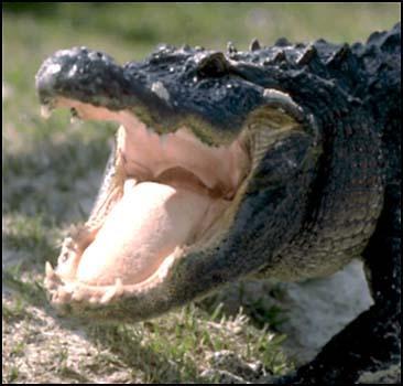 Австралийский крокодил съел девочку