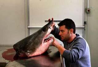 Ученые измерят укус большой белой акулы