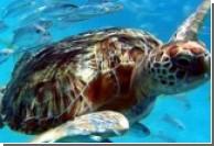 В Малайзии клонируют гигантскую черепаху