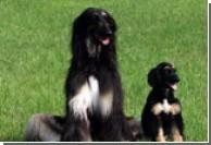 Корея поставит клонированных собак на борьбу с наркотиками