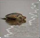 Полторы тысячи черепах сбежали, не захотев становиться обедом