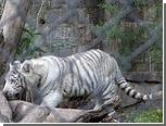 Белый тигр напал на служителя зоопарка в Сантьяго