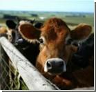 "Селянам доплатят даже за ""повзрослевший"" скот"