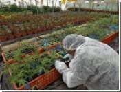 Израиль занялся выращиванием необычной медицинской конопли