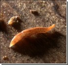 Ученые нашли червя с 60 глазами. Фото