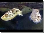 Двуликие каракатицы научились привлекать самок незаметно для соперников