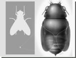 Муха-головорез оказалась самой маленькой на планете