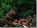 Воровство грызунов спасло пальмы от вымирания