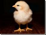 Митохондриальная ДНК подтвердила азиатское происхождение кур