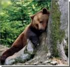 Волки помогают медведям собирать ягоды