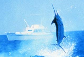 Марлин запрыгнул в лодку и проткнул носом рыбака