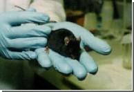 Трансгенные мыши послужили изучению шизофрении