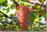 Французкие генетики знают, как создать новые сорта вин