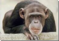 Ученые выяснили почему шимпанзе пытаются избежать соблазнов